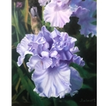 """Lavender Iris"" by Nancy Balmert"