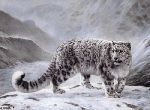 Snow Leopard by Charles Frace