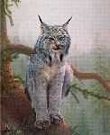 Canadian Lynx by Charles Frace