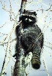 Bandit (Raccoon) by Charles Frace