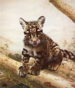 Clouded Leopard Cub by Charles Frace