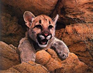 Cougar Cub by Charles Frace