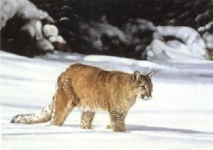 American Cougar by Charles Frace